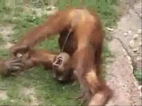 Chimpancé orinándose en su boca